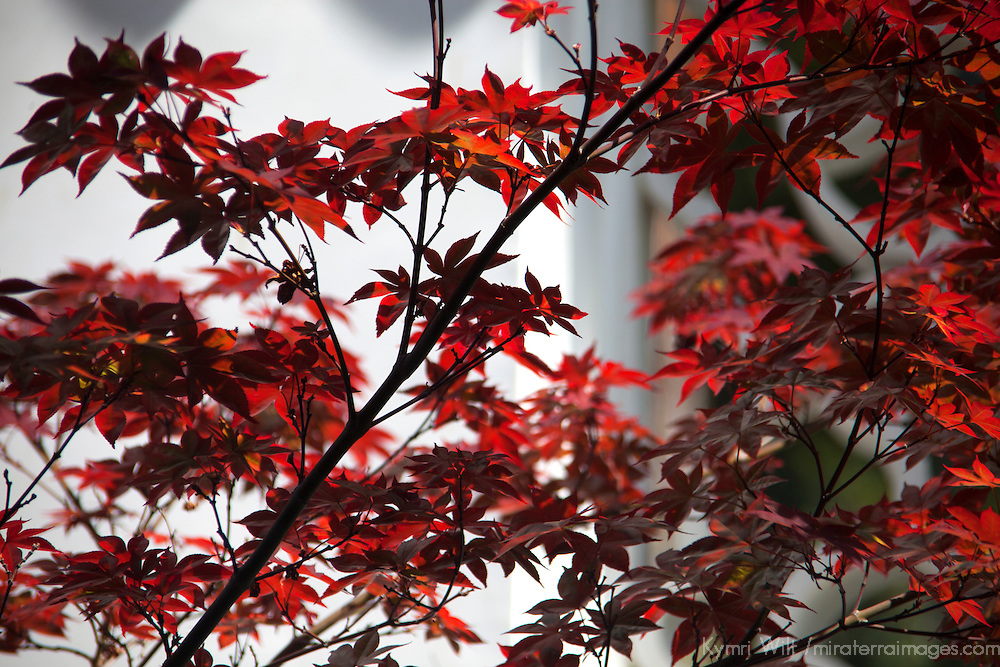USA, California, San Marino. Chinese Maple Leaves at the Huntington Library Chinese Gardens.