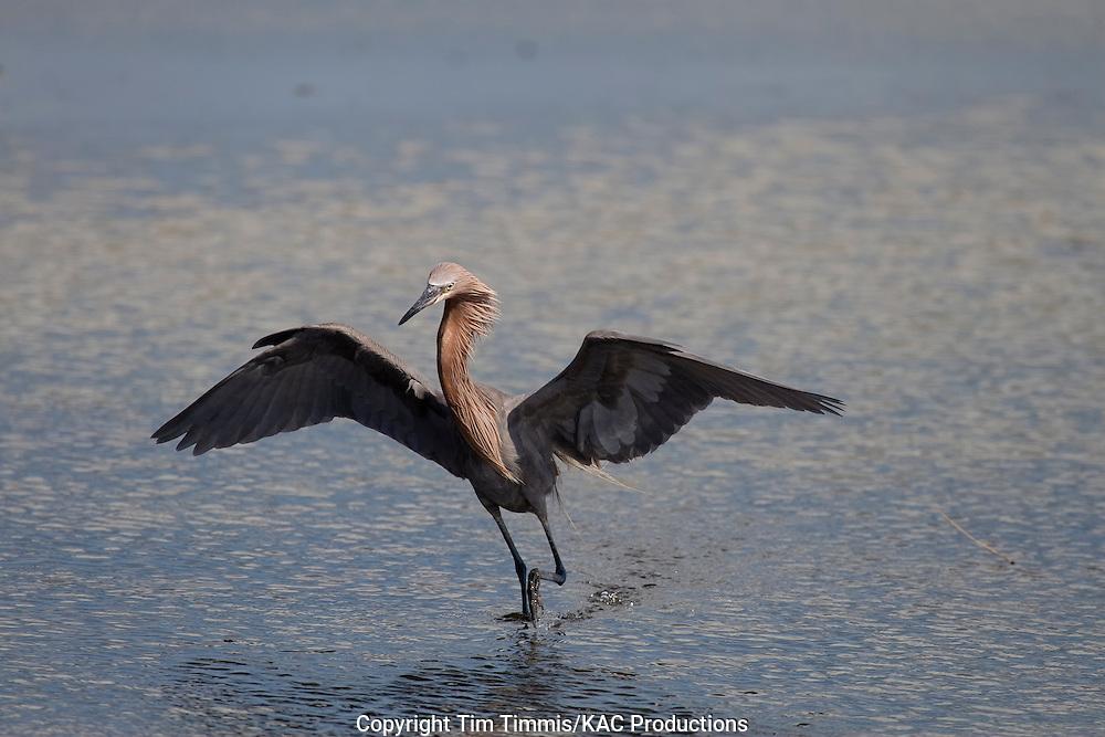 Reddish Egret, Egretta rufescens, Galveston, Texas gulf coast, raised wings, fishing