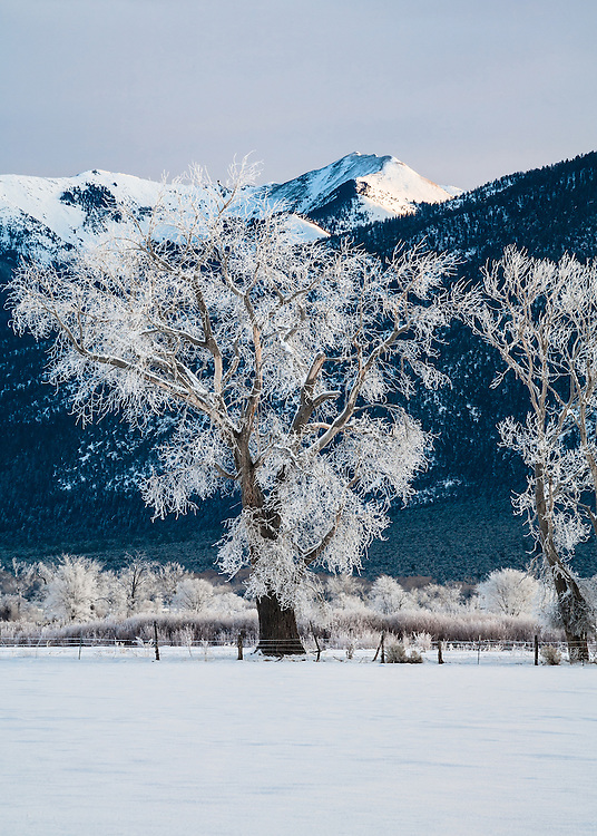 Cottonnwood trees covered in Rime Ice. Taos, New Mexico.
