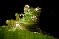 Mating emerald glass frogs, Espadarana prosoblepon, in the Choco forests of Colombia