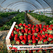 In April of 2013 about 30 migrant workers were injured in a shooting on a strawberry farm in Greece after requesting salaries that had not been paid.<br /> The migrants - mainly from Bangladesh - were shot at by at least one farm supervisor, in a Peloponnesian village in southern Greece. Image &copy; Angelos Giotopoulos/Falcon Photo Agency.