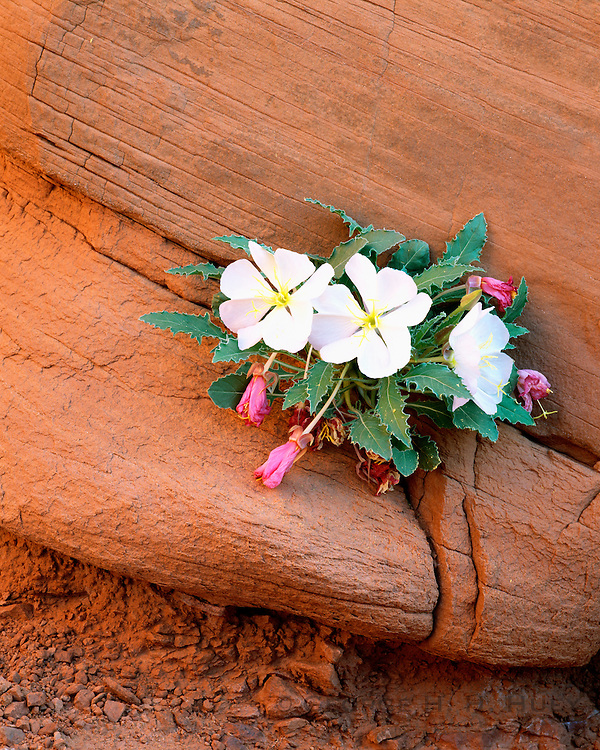 0301-1062 ~ Copyright: George H. H. Huey ~ Tufted evening primrose [oenothera caespitosa]. Arches National Park, Utah.