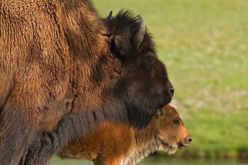 This young female bison calf sticks close to her mother during her first few months of life.  As she matures, she will continue to live with her mother as part of a large maternal herd with other females and their offspring.