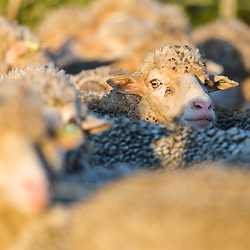 Flock of Merino Sheep waiting to be sheered for their wool, Agulhas Plain, Overberg, Western Cape, South Africa