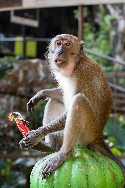 Asia, Malaysia, Kuala Lumpur, Long-Tailed Macaque (Macaca fascicularis) eating candy bar stolen from tourist outside Batu Caves entrance