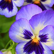 Purple pansies, Arlington, Virginia