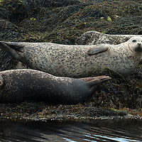 Common seals (aka harbour or harbor seals) Phoce vitulin, hauled out on shore, Isle of Skye, Scotland.
