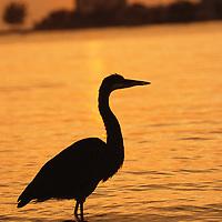 Great blue heron (Ardea herodias), Florida.