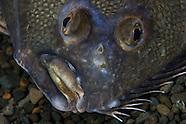 Rhombosolea leporina (Yellowbelly flounder)