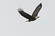 Bald Eagles of Baldwinsville NY