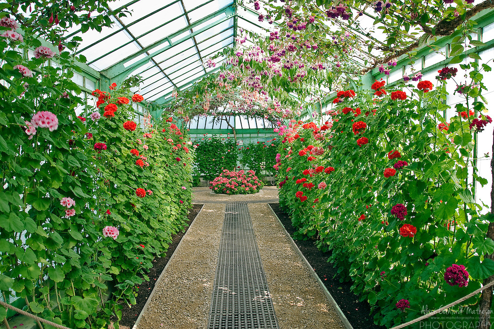 Fuchsias hang from the glass ceiling while geraniums climb the walls of the incredible Belgian Royal Greenhouses. Built in 1873, the greenhouses are open to the public for three weeks each spring.