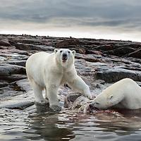 Canada, Nunavut Territory, Repulse Bay, Two Polar Bears (Ursus maritimus) feeding on decomposing Narwhal remains along shoreline on Harbour Islands along Hudson Bay