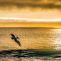 A pelican glides over the waves looking for a morning meal
