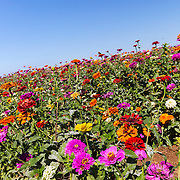 A field of zinnias blooms in the late summer at the Becker Vineyard near Stonewall, Texas.