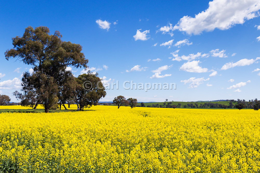trees in a field of flowering canola crop under blue sky and cumulus cloud near Cudal, News South Wales, Austraila.