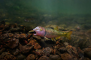 River Chub (building a rock mound for spawning)<br />