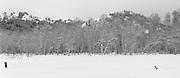 Winter Aspens near Sun Valley Idaho