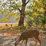 Grazing Deer Meadow Edge Close View - Yosemite Valley