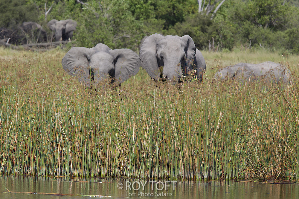 Herd of African elephant grazing near swamp, Botswana