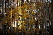 SHOT 10/1/12 5:15:57 PM - Aspen trees changing colors along Kebler Pass just outside of Crested Butte, Co. Populus tremuloides, the Quaking Aspen or Trembling Aspen, is a deciduous tree native to cooler areas of North America and is generally found at 5,000-12,000 feet. The name references the quaking or trembling of the leaves that occurs in even a slight breeze due to the flattened petioles. It propagates itself by both seed and root sprouts, and extensive clonal colonies are common. Each colony is its own clone, and all trees in the clone have identical characteristics and share a root structure. (Photo by Marc Piscotty / © 2012)