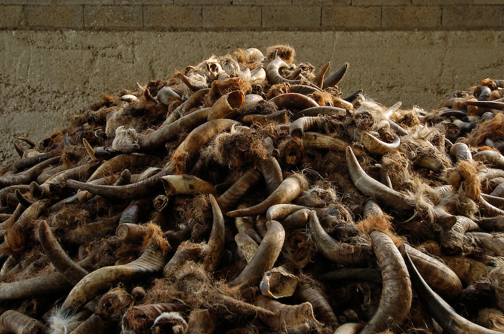 30/08/04 - THIERS - PUY DE DOME - Onglons et cornes de vaches utilises comme engrais organiques dans l agriculture biologique. Egalement pour illustrer l equarrissage - Photo Jerome CHABANNE