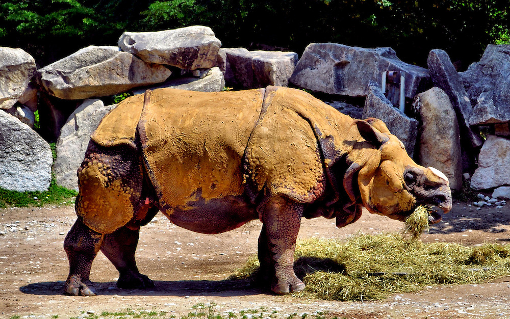 Rhinoceros Covered in Mud Eating Straw at Tierpark Hellabrunn Zoo in Munich, Germany<br />