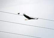 Bald Eagle escaping a dive bombing blackbird on Jekyll Island causeway