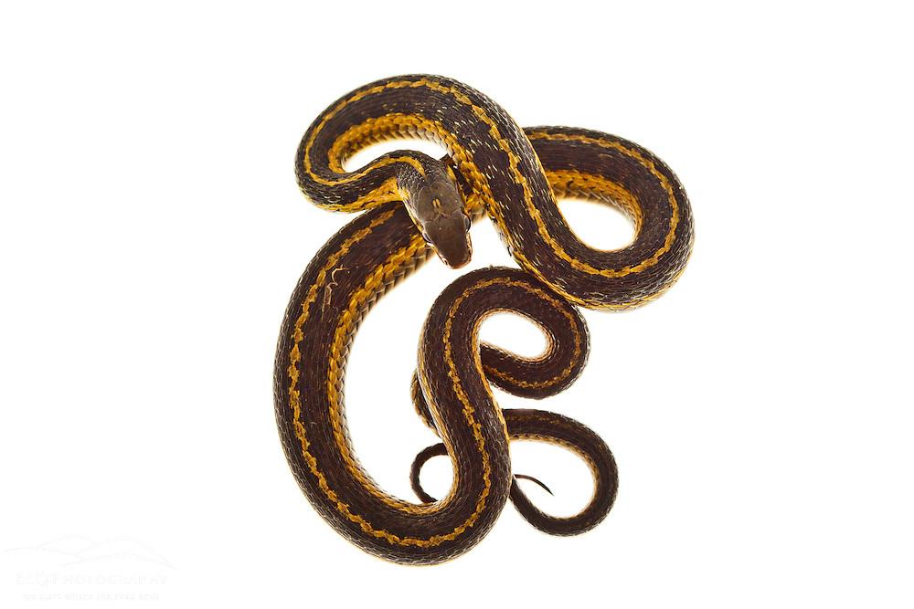 Eastern garter snake, Thamnophis sirtalis sirtalis. Seacoast Science Center, Rye, NH.