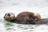 California Sea Otter (Enhydra lutris) and sleeping pup at water level - Elkhorn Slough, California