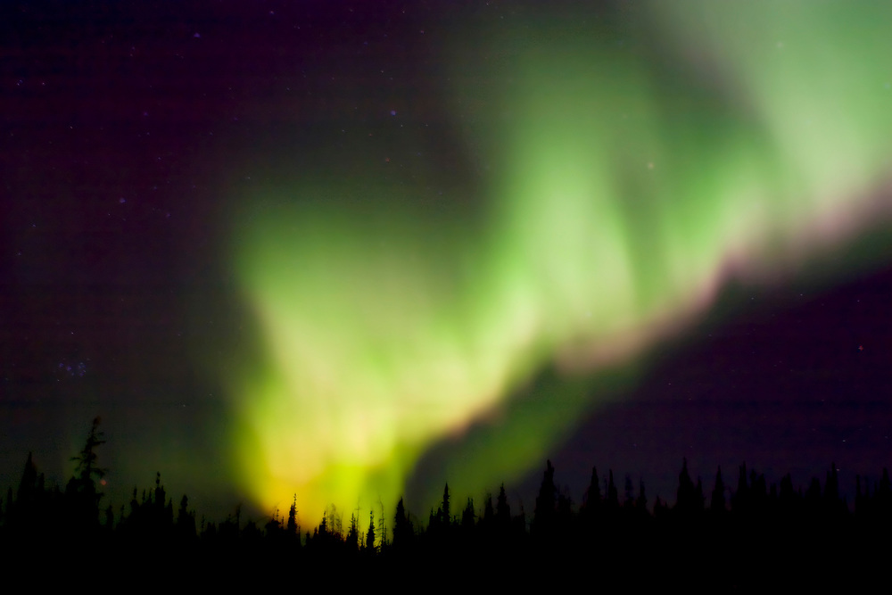 Green and Purple Northern Lights flow in a curtain above the spruce forest near Fairbanks.