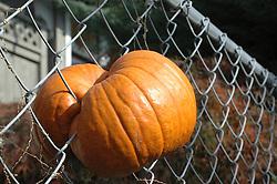 Pumpkin growing through chainlink fence
