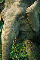 A close view of the face of a Borneo Pygmy Elephant.