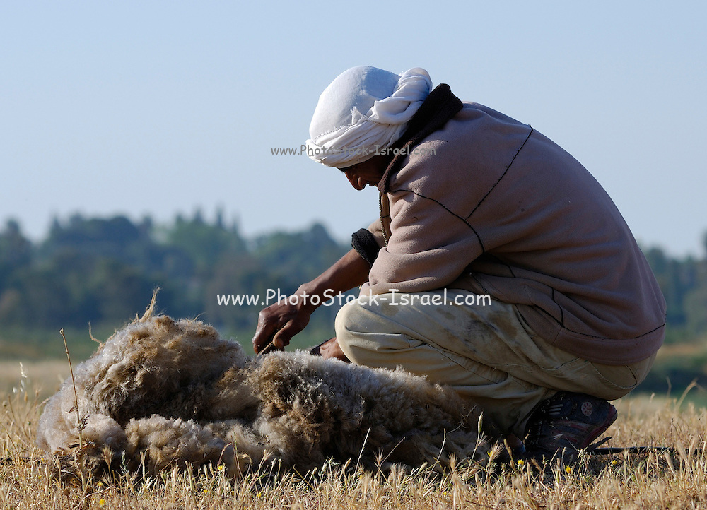 Israel, Negev Desert, bedouin man shearing sheep