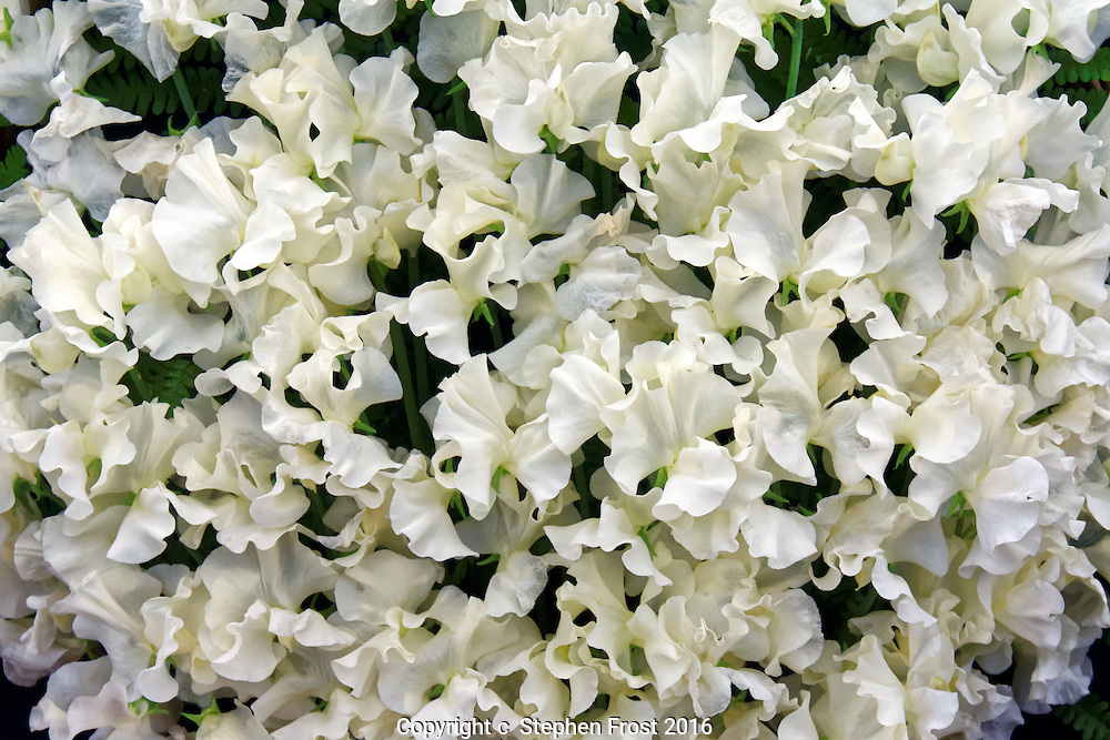 A floral display of white sweet peas.
