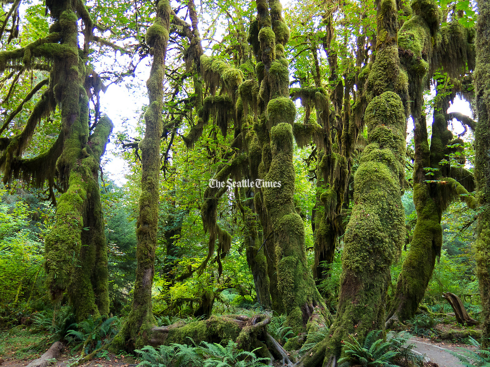 The Hall of Mosses in the Hoh Rain Forest is a short loop from the visitor center in Olympic National Park, about two hours southwest of Port Angeles. It's one of countless world-class natural attractions within day-trip reach of the town. (Mike Siegel/The Seattle Times)