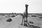 The Hagadera refugee camp outside of Dadaab, Kenya is home to 60,000 people. Camels are a food source. Once a week a camel is selected and slaughtered according to Muslim principles. The camp is administered by the United Nations High Commission for Refugees.
