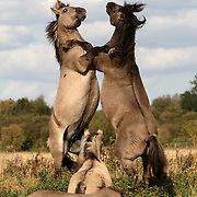 """KONIK HORSES FIGHTING AT WICKEN FEN CAMBRIDGESHIRE...It may look like the plains of America but incredibly this rare shot of two wild stallions sparring was snapped in the English countryside...The two konik horses were spotted fighting on the wetlands of Wicken Fen just 10 miles away from the city of Cambridge...The stallions reared up and boxed with their fore legs in a sight which has rarely been seen in Britain for 4,000 years when the last herds of wild horses roamed these fields...The koniks, which share many characteristics of the now-extinct Tarpan, the original wild horse of Europe's forests, are one of the largest animals ever to be introduced in to the UK...They have been imported to help manage the 325 acre nature reserve...""""It is a pretty amazing sight to see two Stallions fighting like this in Britain and it gets the heart racing,"""" said Carol Laidlow, conservation grazing warden at Wicken Fen...SEE COPY CATCHLINE Wild stallions fight in England"""