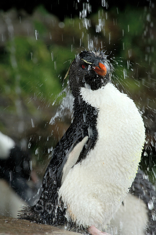 Der pure Genuß für einen Seevogel ist die Gefiederpflege mit Süßwasser. Diese Felsenpinguine (Eudyptes chrysocome) haben sogar eine sonnige Großraumdusche, aber Luxus macht offenbar aggressiv: Nirgendwo sonst in der Felsenpinguinkolonie kommt es so oft zu Streitereien.  | What a seabird enjoys most is a freshwater bath. These rockhopper penguins (Eudyptes chrysocome) even have a huge sunny shower, but luxury seems to make quarrelsome: nowhere else in the rockhopper colony so much aggressive behaviour can be seen. [size of single organism: 50 cm]