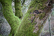 Moss covered trees in Muir Woods National Park, California U.S.A.