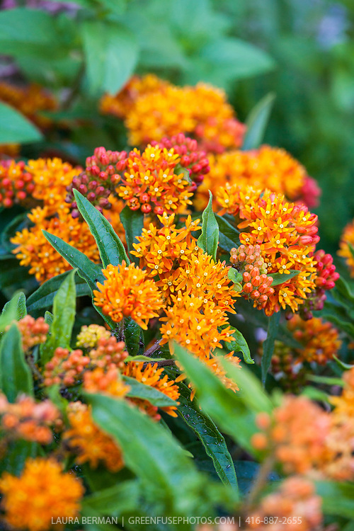 The bright orange flowers of Butterfly milkweed a perennial native to North America and an important habitant plant for butterflies, inclding the Monarch. (Asclepias tuberosa).