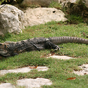 A wild iguana, resting in the grass of the Mexican Yucatan.