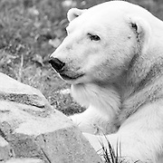 Soul Survival: Polar Bear (Scientific Name: Ursus maritimus)<br /> Vulnerable/Species Survival Plan