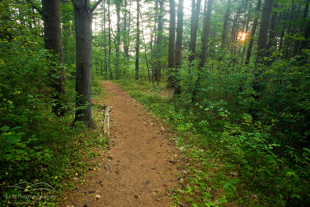 Late day on a trail through a pine forest in Medfield, Massachusetts.