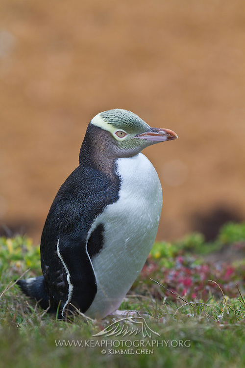 Endangered Yellow-eyed Penguin, Moeraki, New Zealand