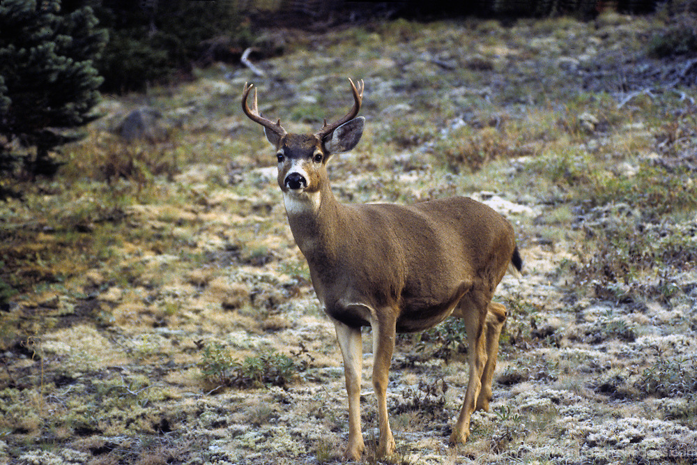 North America, USA, Washington. Black-tailed Deer of the Pacific Northwest.