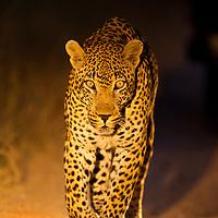 South Africa, Mpumalanga Province, Sabi Sands Game Reserve, Spotlight illuminates Leopard (Panthera pardus) walking along gravel track at night