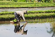 A farmer tends her rice fields in Ubud, Bali, Indonesia.