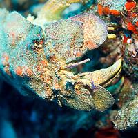 A scaly slipper (Scyllarides squammosus) lobster near Molokini, Maui, Hawaii.