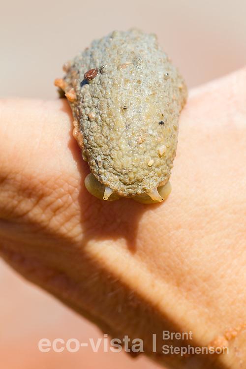 A mangrove slug (Family Onchidiidae), possibly Oncis cinerea, crawls across a human hand, with eyestalks extended. Broome Bird Observatory, Roebuck Bay, Western Australia. September.