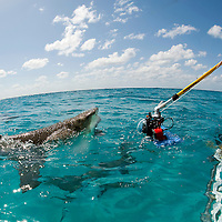 "A photographer uses a custom rigged ""pole cam"" to capture images of a breaching lemon shark."